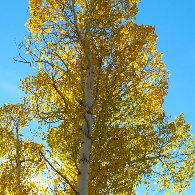 Turning Leaves of Cottonwood
