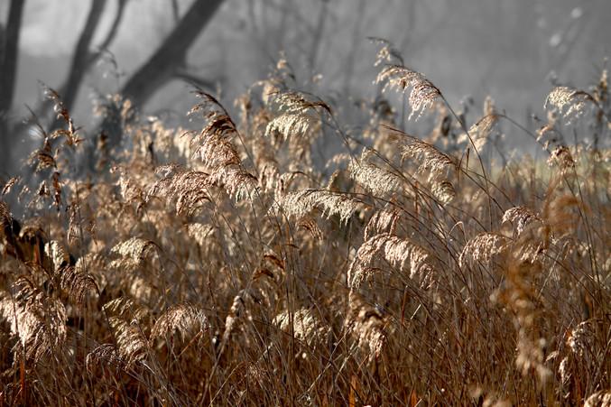 Bronze Grass.JPG