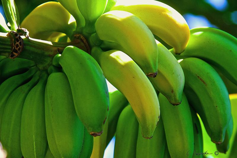 Green to Yellow Bananas PB00098