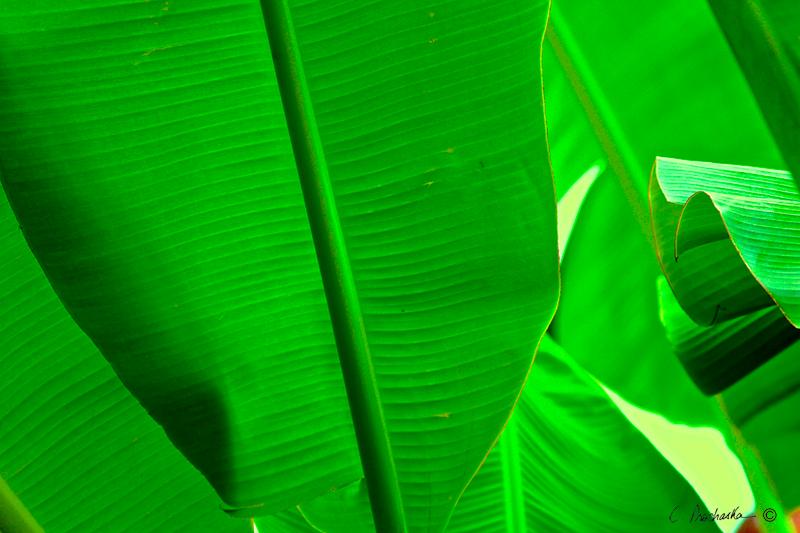 New Green Banana Leaf PB00074