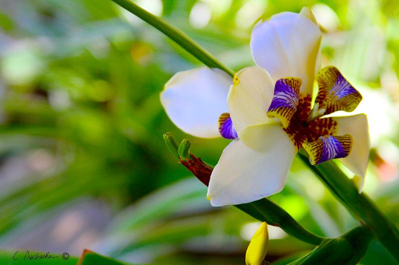 White Wild Orchid PB00100