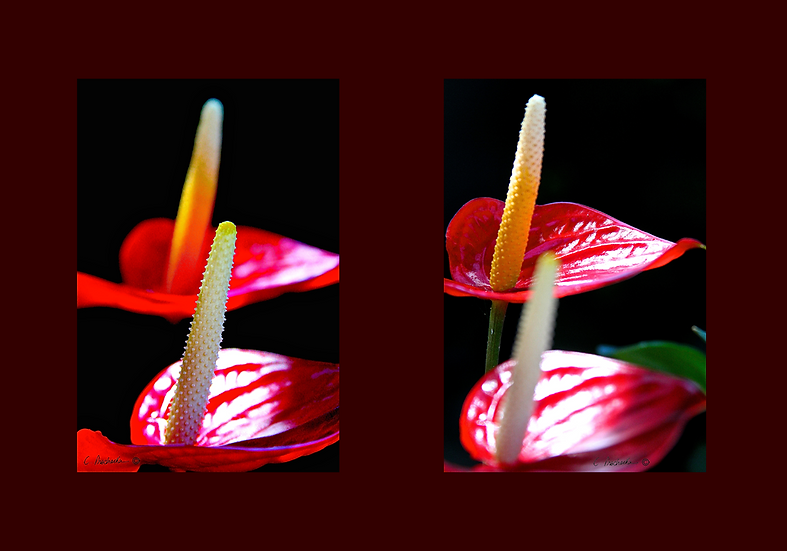Red Anthurium Couple Grouping