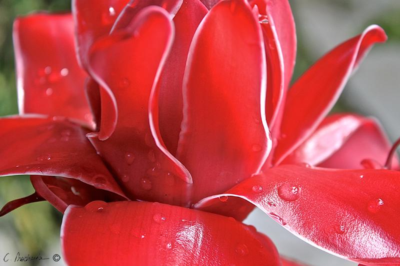 Red Bromeliad Macro PB00084