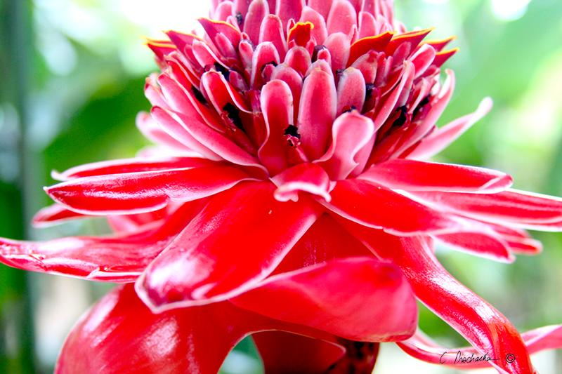 Pink to Red Bromeliad PB00073
