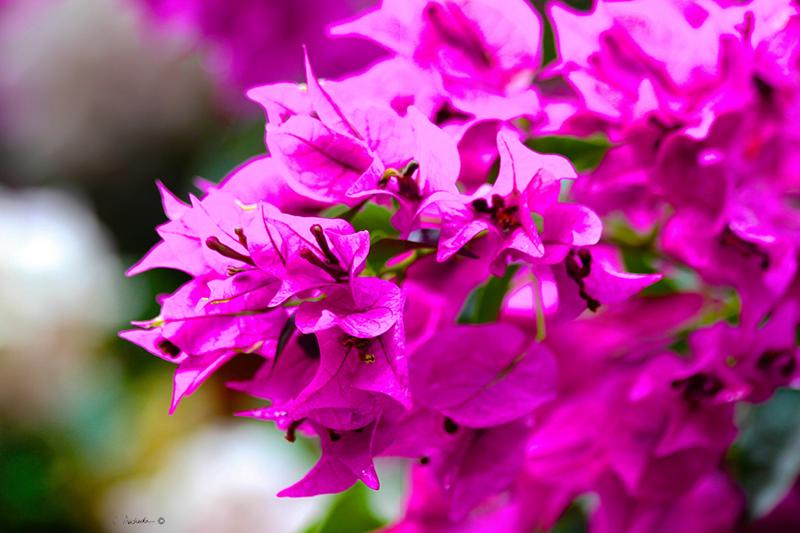 Pink Bougainvillea   PB00133