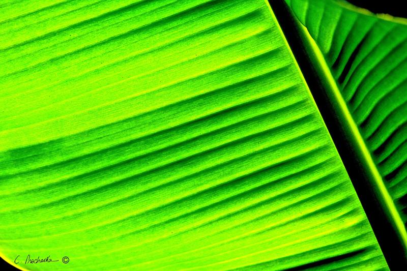 More than a Fig Leaf  PB00121