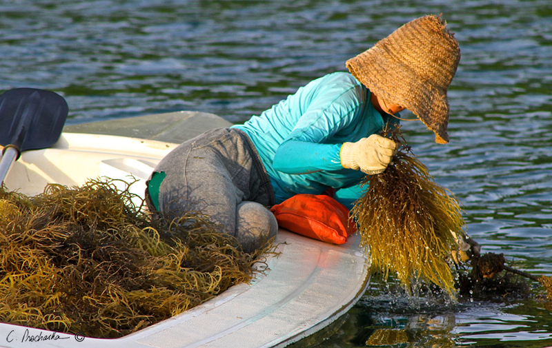 Harvesting Sea Grass  FM00341