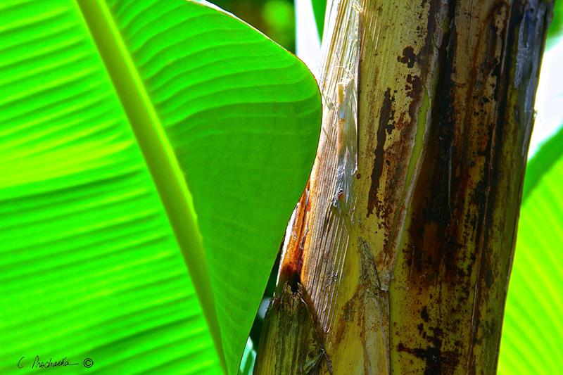 Banana Trunk with Leaf  PB00123