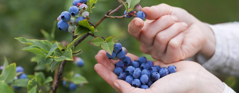 Bleuets sur la vigne 2015-5-6-10:11:31