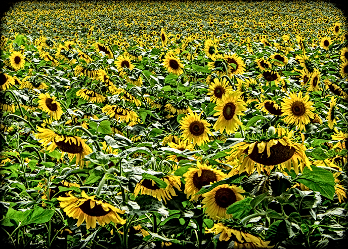 Sunflower Field for CARD(A7)H.png