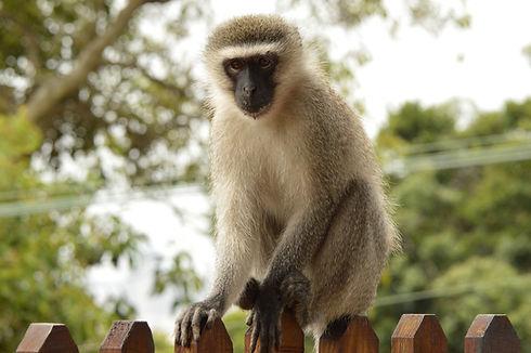 vervet-monkey-3840073_1920.jpg