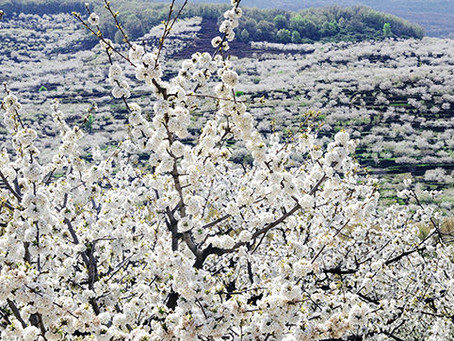 All about Cherry Blossom in Spain