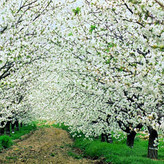 Wander in the cherry blossom woods in Valle del Jerte