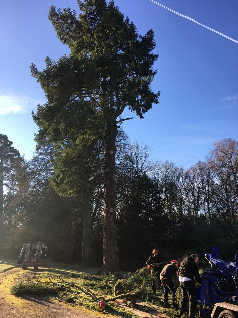 tree felling 2.JPG