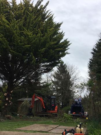 tree felling 4.JPG