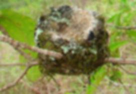 Loja Hummingbird , nest
