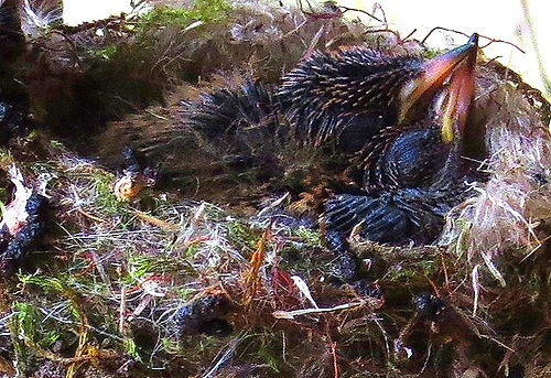 Black  tailed Trainbearer , nest , chick