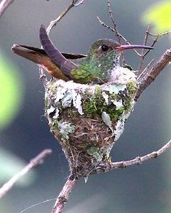 Loja Hummingbird , adult female nesting on eggs