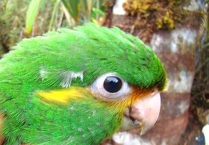 Golden-plumed Parakeet , ready to fledge