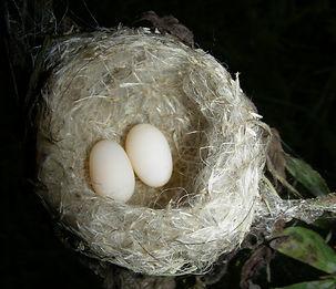 Chlorostilbon mellisugus, nest , eggs