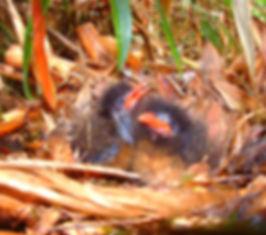 Pichones de Grallaria nuchalis
