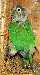White -breasted Parakeet, chick in nest box