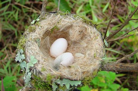 Loja Hummingbird , nest , eggs