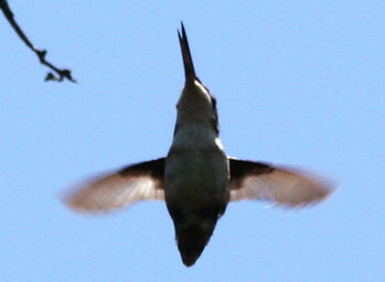 Esmeraldas Woodstar, 1st time out of nest, 1 st mother feeding outside the nest fledgling