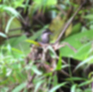 Western Emerald , adult female nesting on eggs
