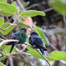 Black breasted Puffleg , fledglings
