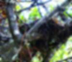 Ondulated Antpitta , nest