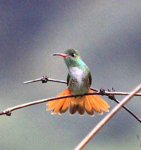 Loja Hummingbird , fledgling