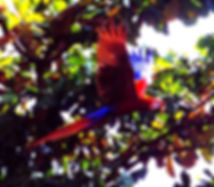 scarlet macaw fly