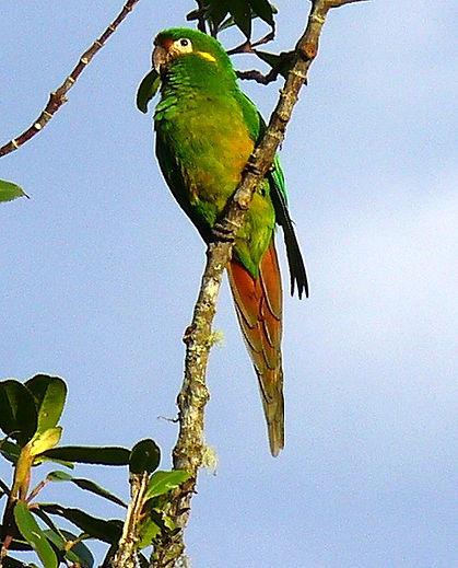 Golden-plumed Parakeet , adult