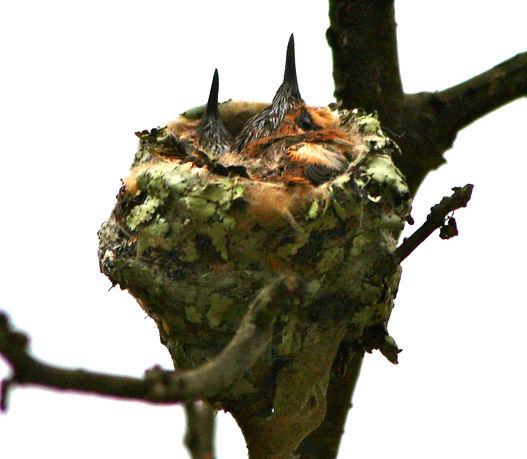 Esmeraldas Woodstar, chick nesting