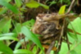 Western Emerald , nest in bamboo