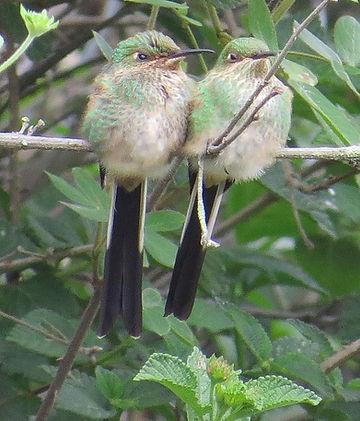 Black  tailed Trainbearer , fledgling