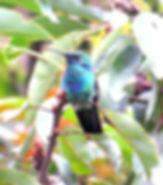 Sparkling Violetear, fledgling