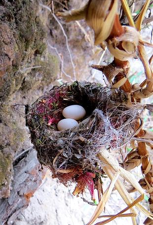 Sparkling Violetear, nest with eggs