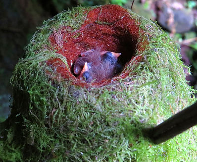 Collard Inca  , nest , chick
