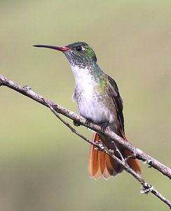Loja Hummingbird , adult