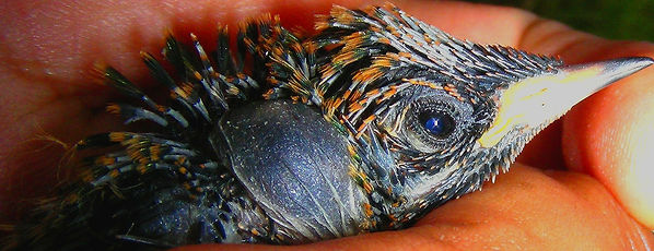 Colibri corruscan , chick