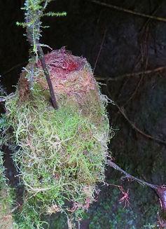 Collard Inca , nest