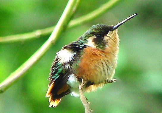Esmeraldas Woodstar, female fledgling