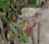 Chlorostilbon mellisugus, nest