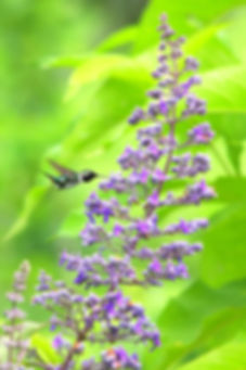 Esmeraldas Woodstar, verbanaceae feeding