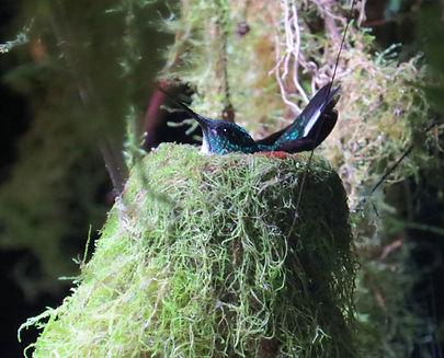 Collard Inca , adult female sitting on eggs