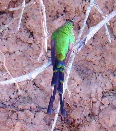 Black  tailed Trainbearer ,entering  nest to feed, adult female