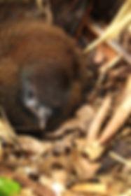 Jocotoco Antpitta , chick in nest