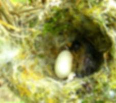 Colibri Corruscan , nest, egg , 1st day hatch